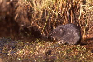 Water vole courtesy of Alan Ross